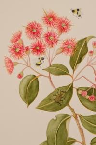 Corymbia ficifolia - Myrtacea (2)