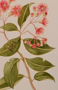 Corymbia ficifolia - Myrtacea (3)