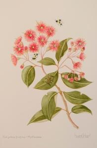 Corymbia ficifolia - Myrtacea