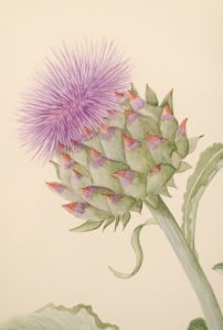 Cynara Cardunculus & Cross Section (2)