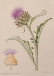 Cynara Cardunculus & Cross Section (Unframed)