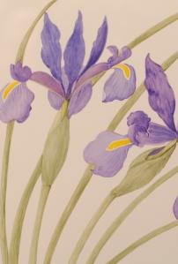 Dutch Iris (2)